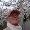 桜さくらサクラの画像