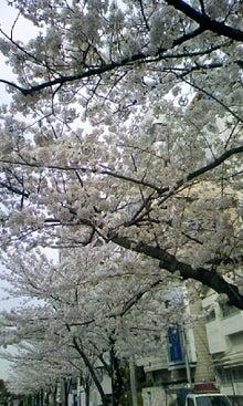 トラトラの日常-大森駅北口近くの公園の桜