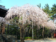 $泡正しいヒビ日記-桜