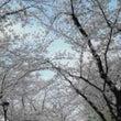 隅田公園で花見なう\…