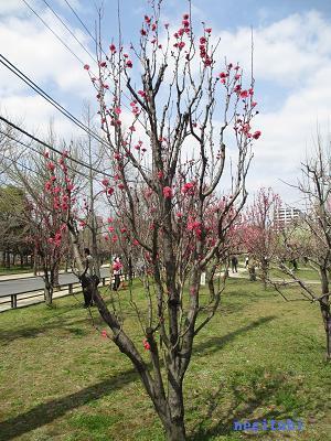 おねぎのブログ-9.「照手 紅 (てるて べに)」の桃の木