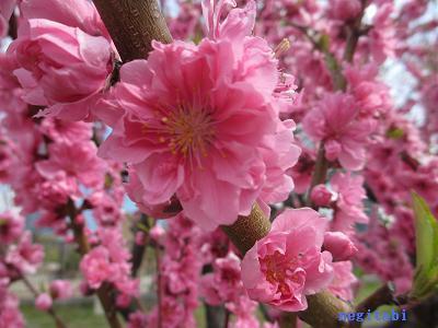 おねぎのブログ-4.「矢口」の花びら