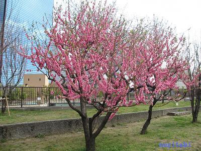 おねぎのブログ-3.「矢口」の桃の木