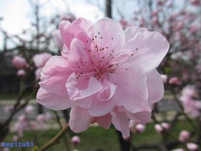 おねぎのブログ-16.「源平」の花びら