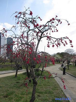 おねぎのブログ-12.「相模枝垂れ」の桃の木