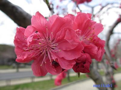 おねぎのブログ-13.「相模枝垂れ」の花びら