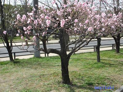 おねぎのブログ-15.「源平」の桃の木
