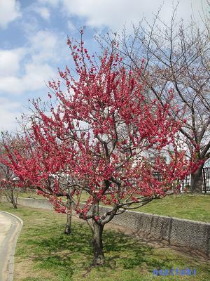 おねぎのブログ-6.「寒緋(かんひ)」の桃の木