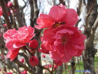おねぎのブログ-10.「照手 紅 (てるて べに)」の花びら