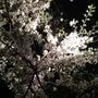 澄んだ夜は桜を見上げ…