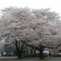 まだ桜~♪