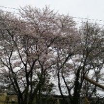 母校の桜♪