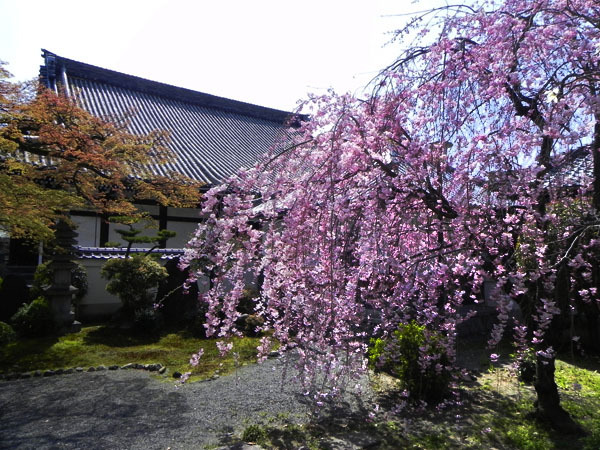 京都の桜と紅葉-本隆寺