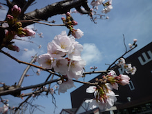 内山家具 スタッフブログ-20130401sakura