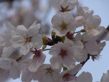 鴻巣の整体院ささき 整体よもやま話-桜の花2