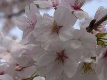 鴻巣の整体院ささき 整体よもやま話-桜の花1