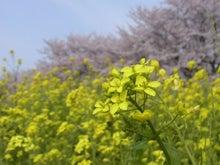 鴻巣の整体院ささき 整体よもやま話-菜の花