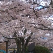 春です。桜咲け!