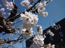内山家具 スタッフブログ-20130404sakura