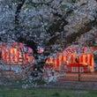 25年の桜