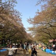 上野の桜も見おさめか…