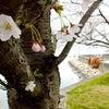 桜、穴場めぐりの画像