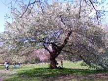 コミュニティ・ベーカリー                          風のすみかな日々-桜1