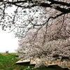 熊谷場所「春爛漫のお花見」の画像