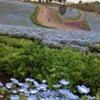 太田 芝桜まつり 青いネモフィラ♪の画像