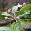 リンゴの花の画像