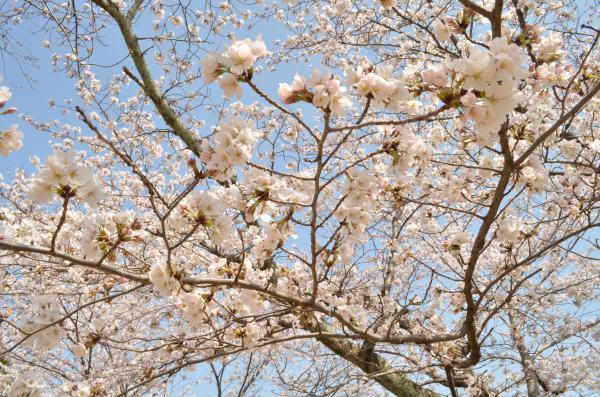 Kukuru-color-sakura