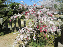 赤と黒-首途八幡宮 桜①