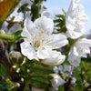 サクランボの花の画像
