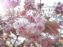 遥香の近況日記-山桜