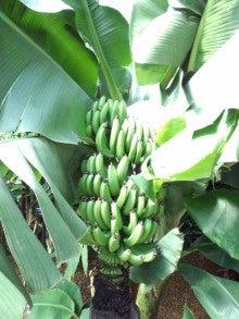 遥香の近況日記-温室のバナナ