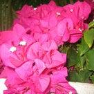 散歩中ハワイの花の記事より