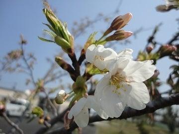 復興は岡田西町から!-桜開花