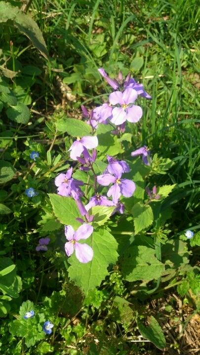 綺麗な紫色の【花大根】~♪