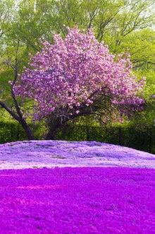 $B型的適当生活-芝桜と牡丹桜