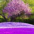 芝桜と牡丹桜