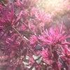 ピンクのマンサクの花☆の画像