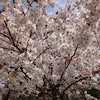 榛名神社、桜満開♫の画像