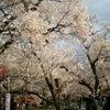 高遠の桜の画像