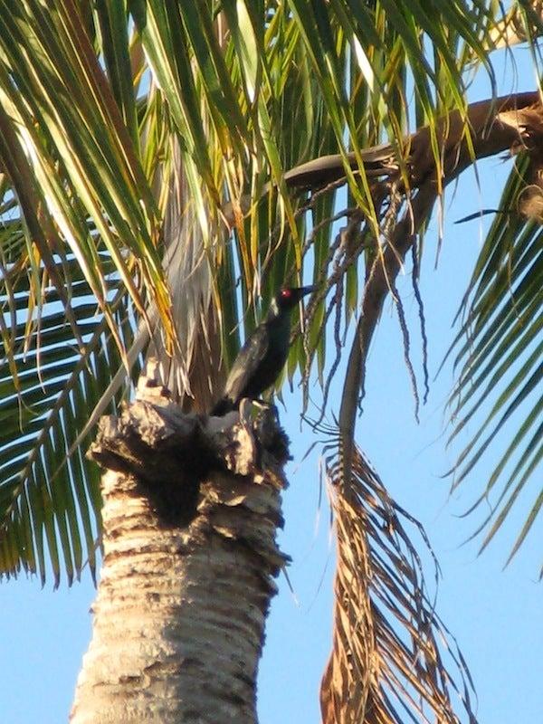 $フィリピンの野鳥紀行-asian starling