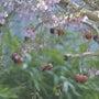ドイツと日本の桜