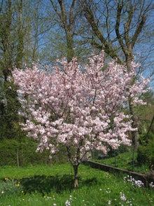 林正子のブログ-桜