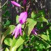 シラン(紫蘭)の画像