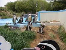 $鴻巣の整体院ささき 整体よもやま話-フンボルトペンギン