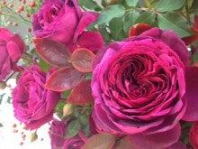 $マエダユウコの薔薇水生活