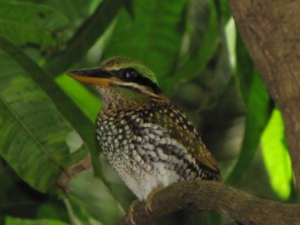 $フィリピンの野鳥紀行-シロボシショウビン